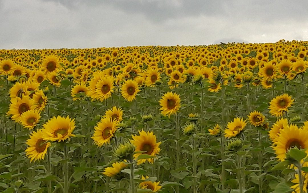Our Sunflowers in 16